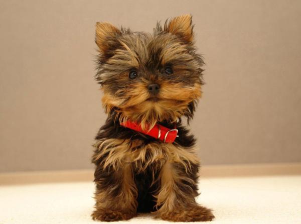 corte cachorro